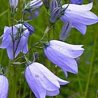 Kissankello (Campanula rotundifolia)